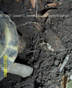 Russian Tortoise laying eggs 2