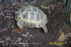 Russian tortoise laying eggs 1