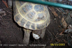 Russian tortoise laying eggs 6