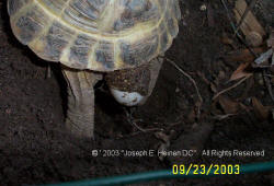 Russian tortoise laying eggs 5