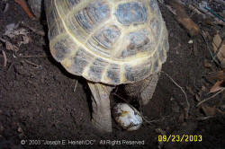 Russian Tortoise laying eggs