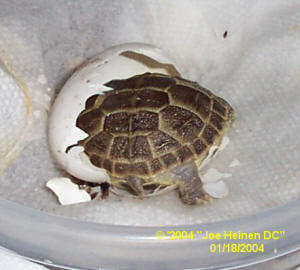 Russian Tortoise hatching