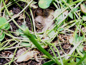 Russian tortoise hatchlings hiding in weeds